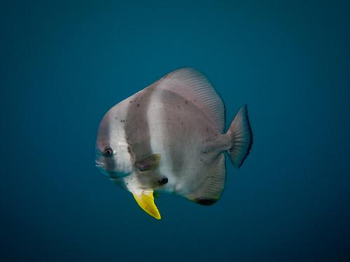 ナンヨウツバメウオ(成魚)の画像