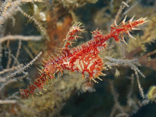 ニシキフウライウオ赤の写真画像
