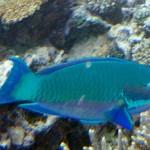 ブダイの種類 沖縄の青い魚