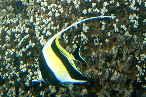 ギルのモデルの魚 ツノダシの写真画像