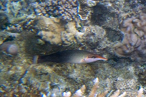 クギベラ幼魚の画像