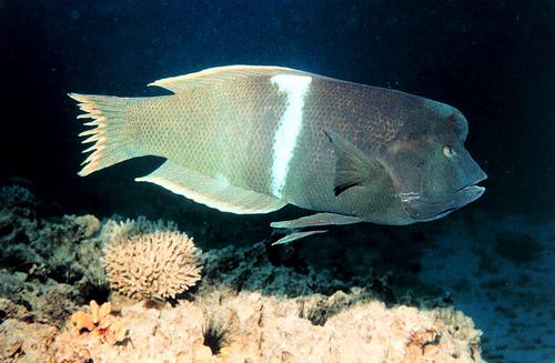 カンムリベラ成魚の画像