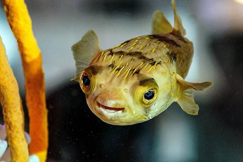 ブロートの魚 ハリセンボンの画像