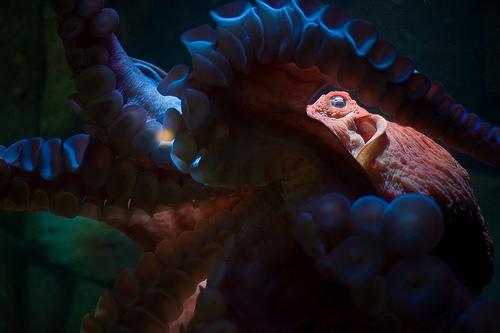 ハンクの魚 ミズダコの写真画像