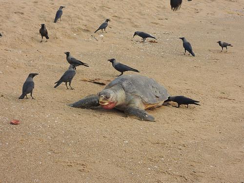ヒラタウミガメの写真画像