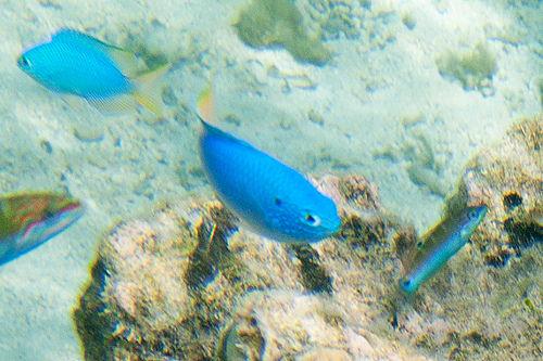 ヒリゾ浜で見れる魚の種類 ソラスズメダイの写真画像