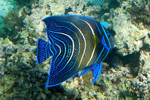 サザナミヤッコ 幼魚の写真画像