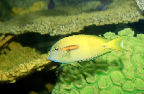 ヒリゾ浜で見れる魚の種類 モンツキハギ 幼魚の写真画像