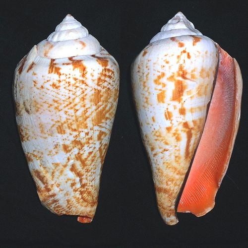 コケ取り貝 マガキ貝の殻写真画像
