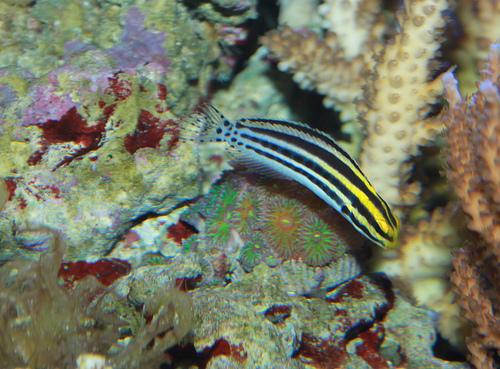 防波堤釣り毒魚 ヒゲニジギンポの写真画像