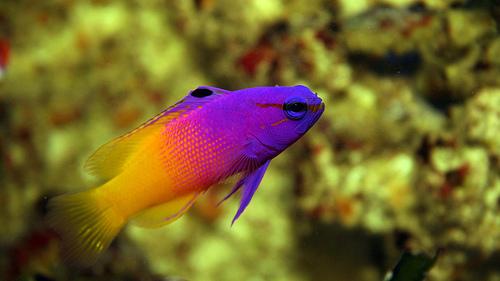 ガーグルの魚 ロイヤルグラマの写真画像