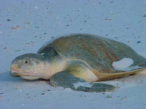 ケンプヒメウミガメ