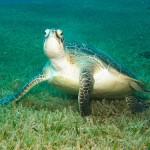 ウミガメの種類 全8種写真あり