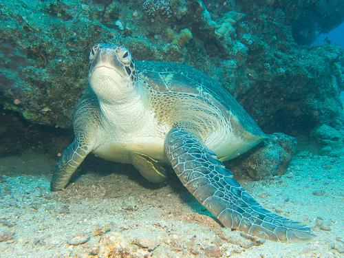 クラッシュとスクワートのモデルとなったアオウミガメの写真画像