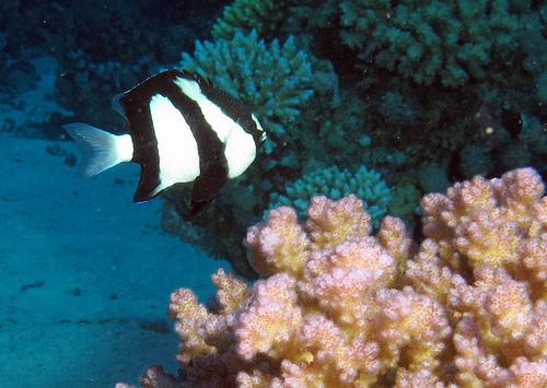 デブの魚 ミスジリュウキュウスズメダイの写真画像