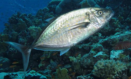 アジの種類 マブタシマアジ(瞼島鰺)の写真画像