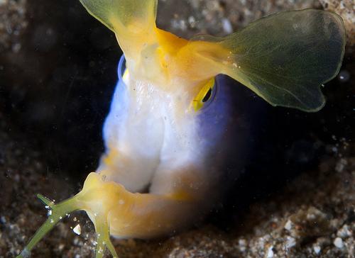 ハナヒゲウツボの口写真画像