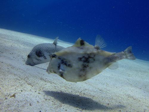 ラクダハコフグの成魚 横からの画像