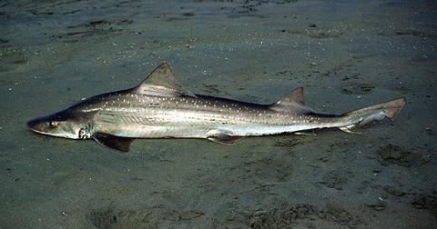 深海サメの種類 ホシザメの画像