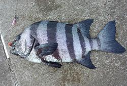 ジグサビキ 釣れる魚 イシダイ
