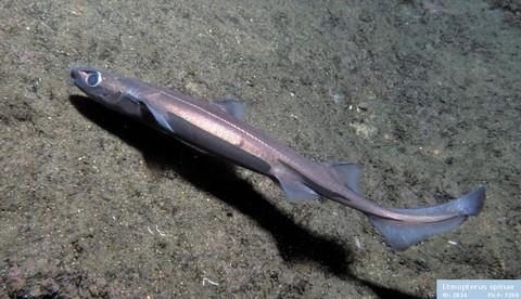 深海サメの種類 フジクジラの画像
