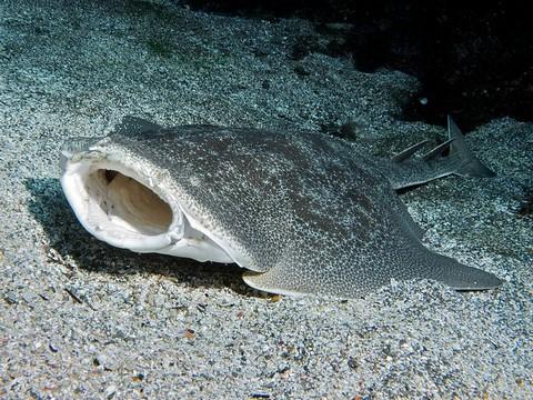 深海サメの種類 カスザメの画像