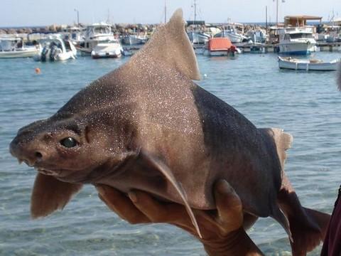 深海サメの種類 オロシザメの画像