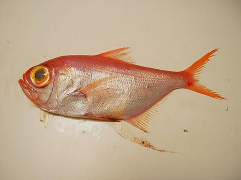 食用魚の種類 キンメダイの画像