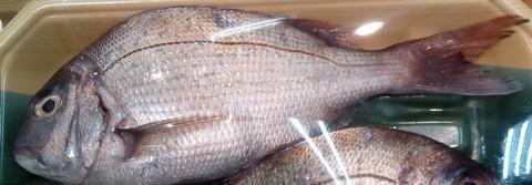 イカの切り身(イカ短)で釣れる魚 マダイ(真鯛)の画像