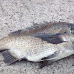 出世魚の種類 クロダイの画像