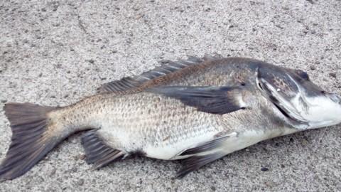 食用魚の種類 クロダイ(チヌ)の画像