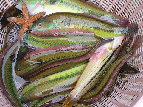 イカの切り身(イカ短)で釣れる魚 ベラの画像
