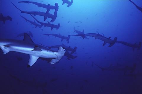 シュモクザメの群れ 画像
