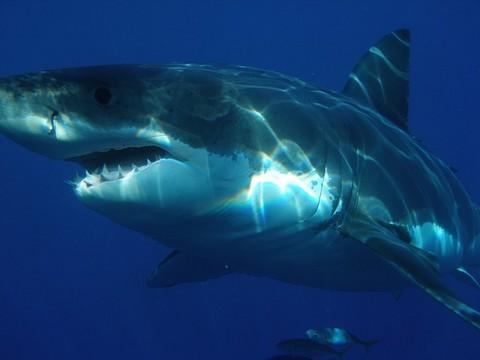 ブルーの魚 ホホジロザメの写真画像