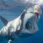 ホホジロザメ 日本にもいる人喰いサメ