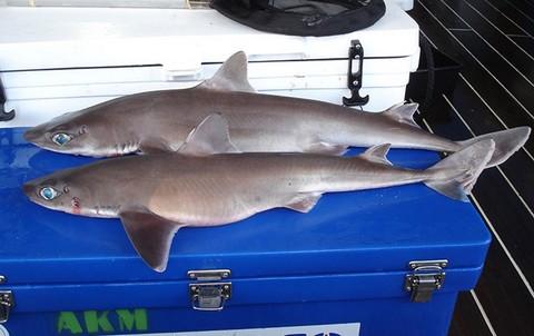 深海サメの種類 フトツノザメの画像