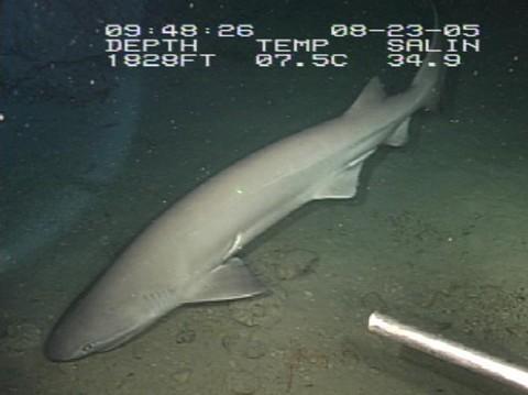 深海サメの種類 カグラザメの画像