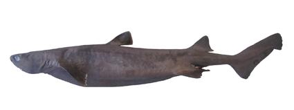 深海のサメの種類 ヨロイザメの画像