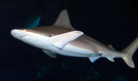 メジロザメの画像