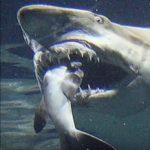 サメの種類 共食いするシロワニ