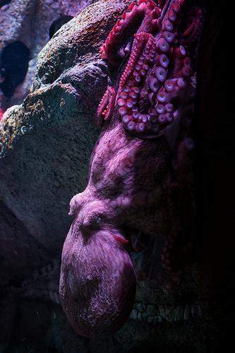 モントレーベイ水族館 ハンクのモデル タコの画像2