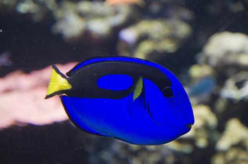 モントレーベイ水族館 ドリーのモデルナンヨウハギの写真
