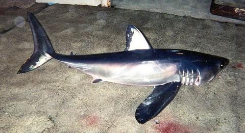 バケアオザメの画像