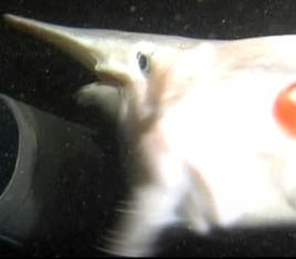 ミツクリザメの噛みつき画像3