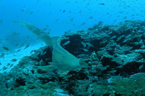 トラフザメの画像