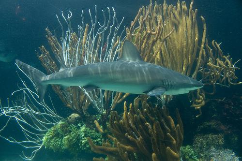 ペレスメジロザメの画像