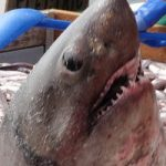 ネズミザメ(モウカザメ)  スーパーなどで激安サメ肉として売られている