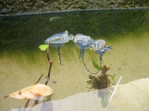 カツオノエボシが浮いている画像