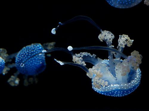 タコクラゲの画像