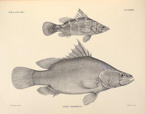 安い白身魚 ナイルパーチのイラスト